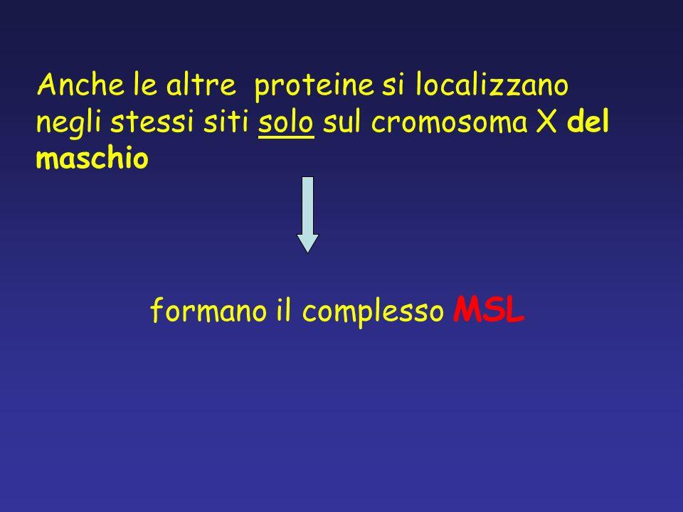 formano il complesso MSL Anche le altre proteine si localizzano negli stessi siti solo sul cromosoma X del maschio
