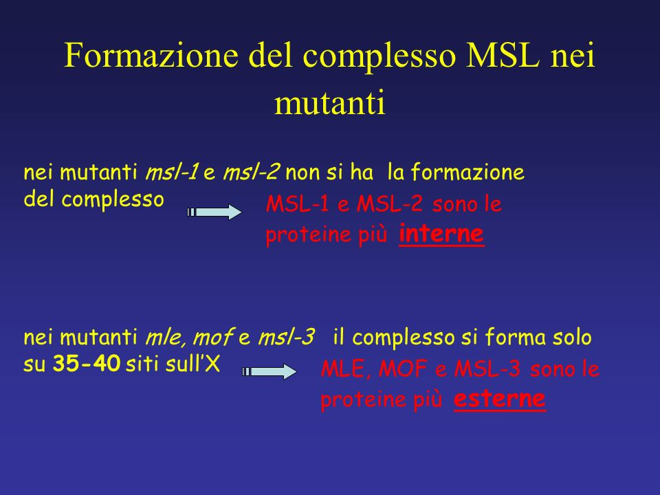 nei mutanti mle, mof e msl-3 il complesso si forma solo su 35-40 siti sullX nei mutanti msl-1 e msl-2 non si ha la formazione del complesso Formazione
