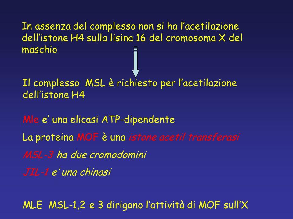 In assenza del complesso non si ha lacetilazione dellistone H4 sulla lisina 16 del cromosoma X del maschio MLE MSL-1,2 e 3 dirigono lattività di MOF s