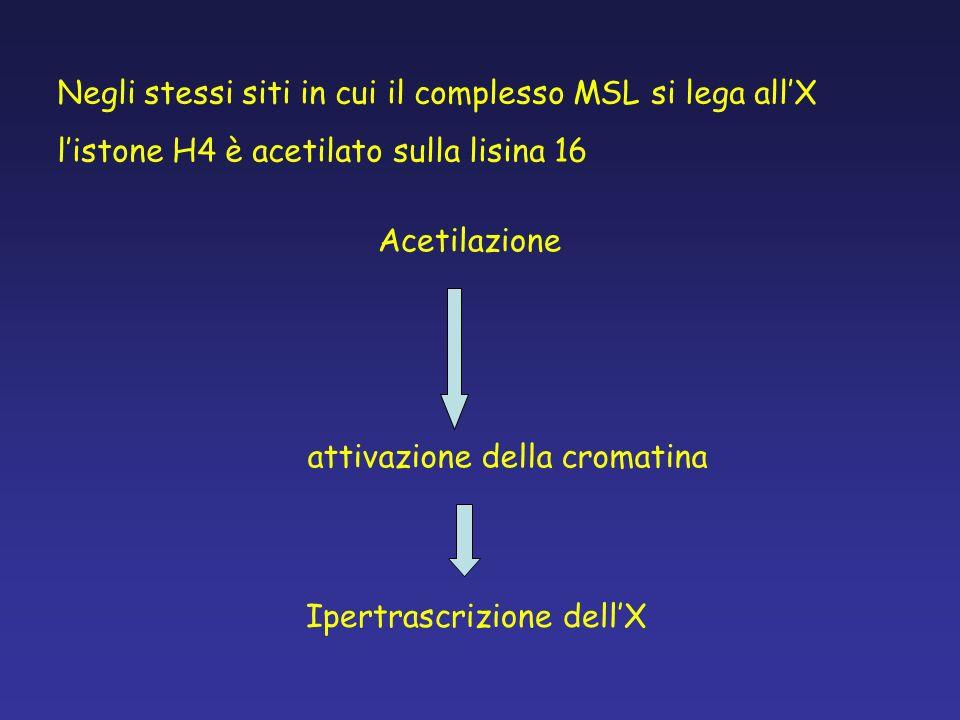 Negli stessi siti in cui il complesso MSL si lega allX listone H4 è acetilato sulla lisina 16 attivazione della cromatina Acetilazione Ipertrascrizion