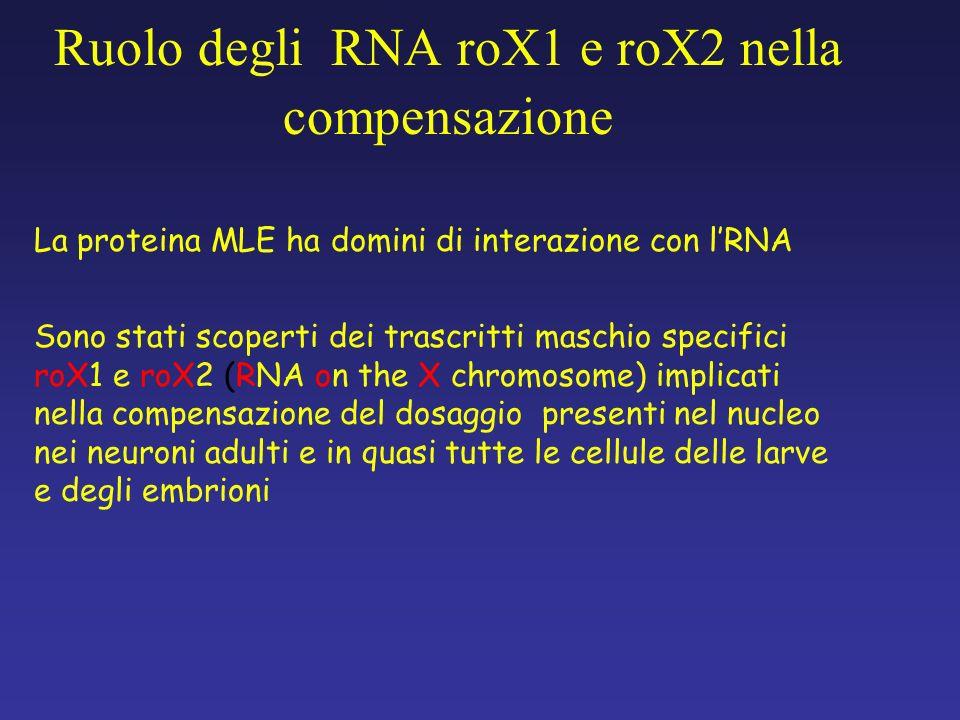 La proteina MLE ha domini di interazione con lRNA Sono stati scoperti dei trascritti maschio specifici roX1 e roX2 (RNA on the X chromosome) implicati