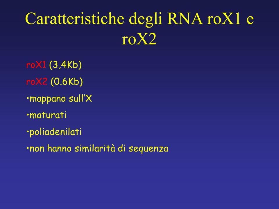 roX1 (3,4Kb) roX2 (0.6Kb) mappano sullX maturati poliadenilati non hanno similarità di sequenza Caratteristiche degli RNA roX1 e roX2