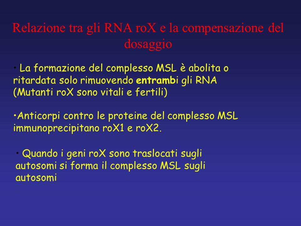 Anticorpi contro le proteine del complesso MSL immunoprecipitano roX1 e roX2. La formazione del complesso MSL è abolita o ritardata solo rimuovendo en