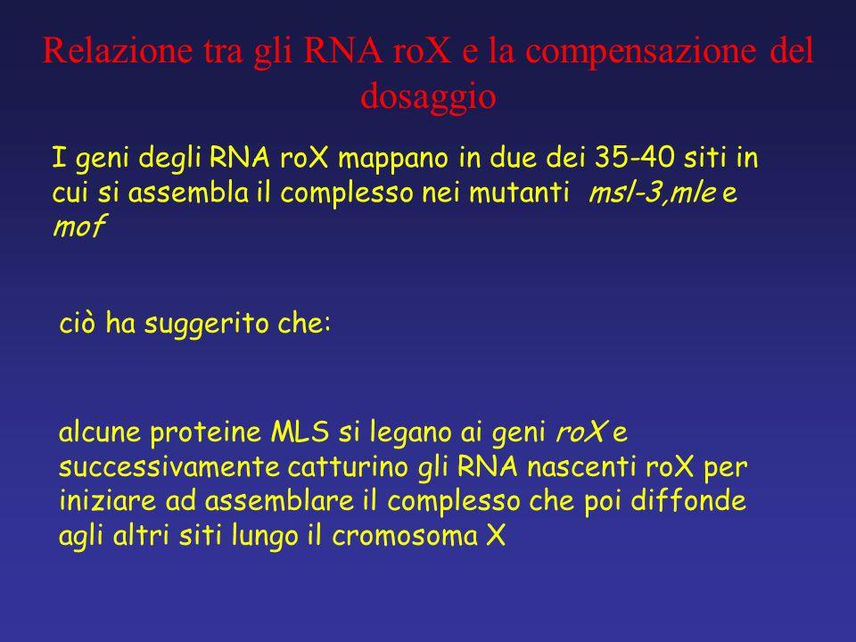 alcune proteine MLS si legano ai geni roX e successivamente catturino gli RNA nascenti roX per iniziare ad assemblare il complesso che poi diffonde ag