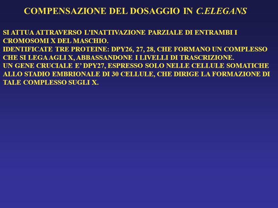 COMPENSAZIONE DEL DOSAGGIO IN C.ELEGANS SI ATTUA ATTRAVERSO LINATTIVAZIONE PARZIALE DI ENTRAMBI I CROMOSOMI X DEL MASCHIO. IDENTIFICATE TRE PROTEINE: