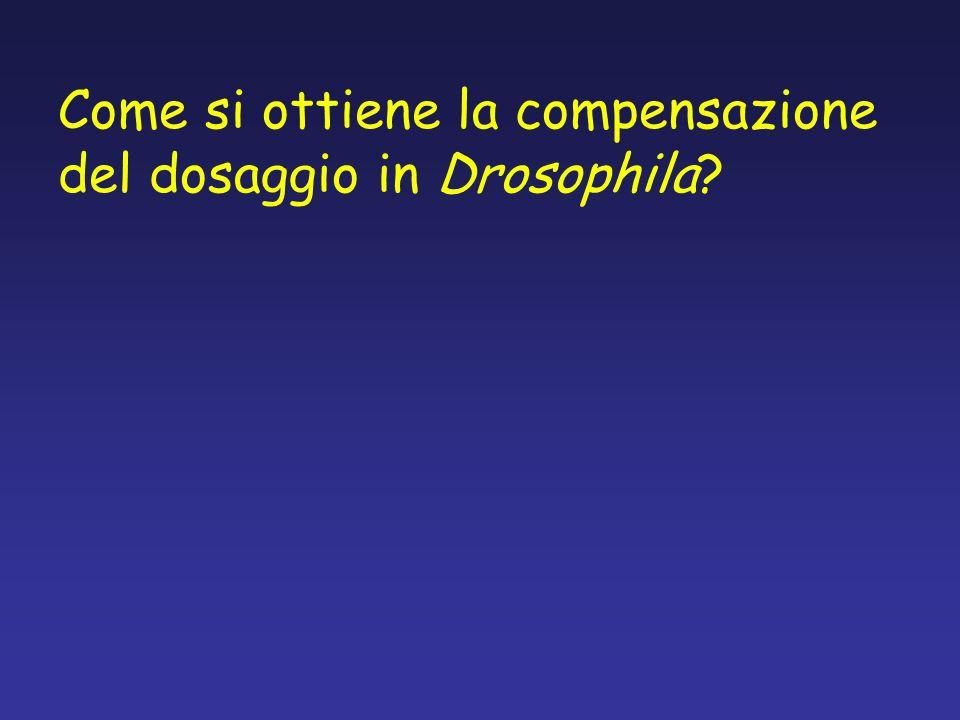 Come si ottiene la compensazione del dosaggio in Drosophila?