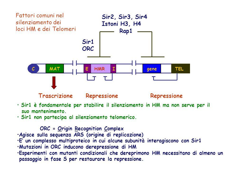 MATgeneTELEIHMR Sir2, Sir3, Sir4 Istoni H3, H4 Rap1 C TrascrizioneRepressione Sir1 ORC Fattori comuni nel silenziamento dei loci HM e dei Telomeri Sir