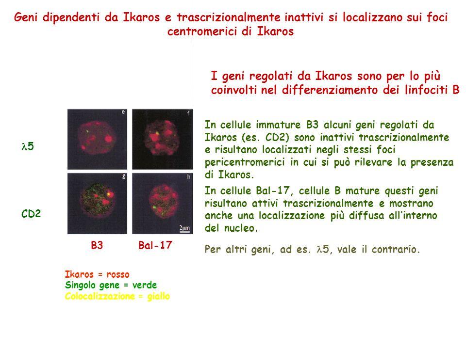 5 CD2 B3 Bal-17 Geni dipendenti da Ikaros e trascrizionalmente inattivi si localizzano sui foci centromerici di Ikaros In cellule immature B3 alcuni g