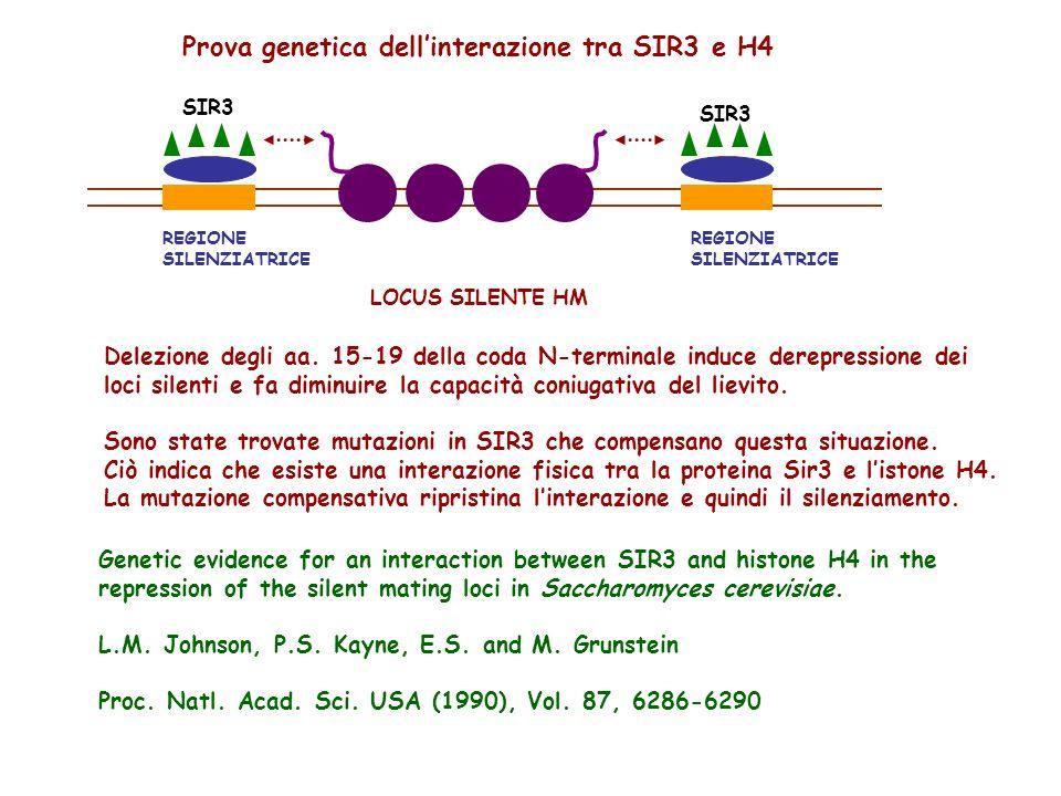 SIR3 REGIONE SILENZIATRICE REGIONE SILENZIATRICE LOCUS SILENTE HM Prova genetica dellinterazione tra SIR3 e H4 Delezione degli aa. 15-19 della coda N-