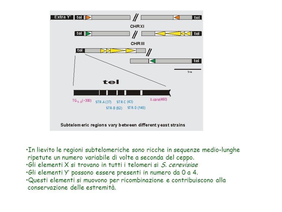 IL SILENZIAMENTO GENICO AVVIENE ANCHE IN PROSSIMITA DELLE REGIONI TELOMERICHE URA 3 TEL Trascrizione di URA3 +/- --- +++ Sir3++ = Completa Repressione sir3 = Forte Derepressione Mutanti nei geni Sir 2/3/4 Rap1 Istoni (code N-Terminali) portano a derepressione dei geni posti in posizione subtelomerica.
