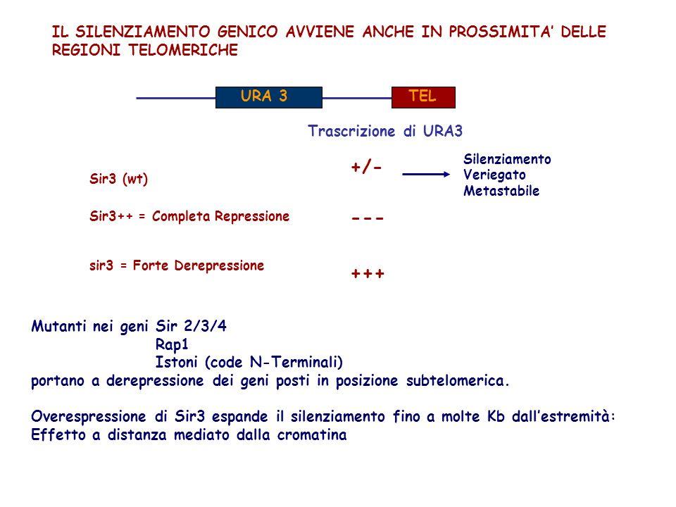 IL SILENZIAMENTO GENICO AVVIENE ANCHE IN PROSSIMITA DELLE REGIONI TELOMERICHE URA 3 TEL Trascrizione di URA3 +/- --- +++ Sir3++ = Completa Repressione