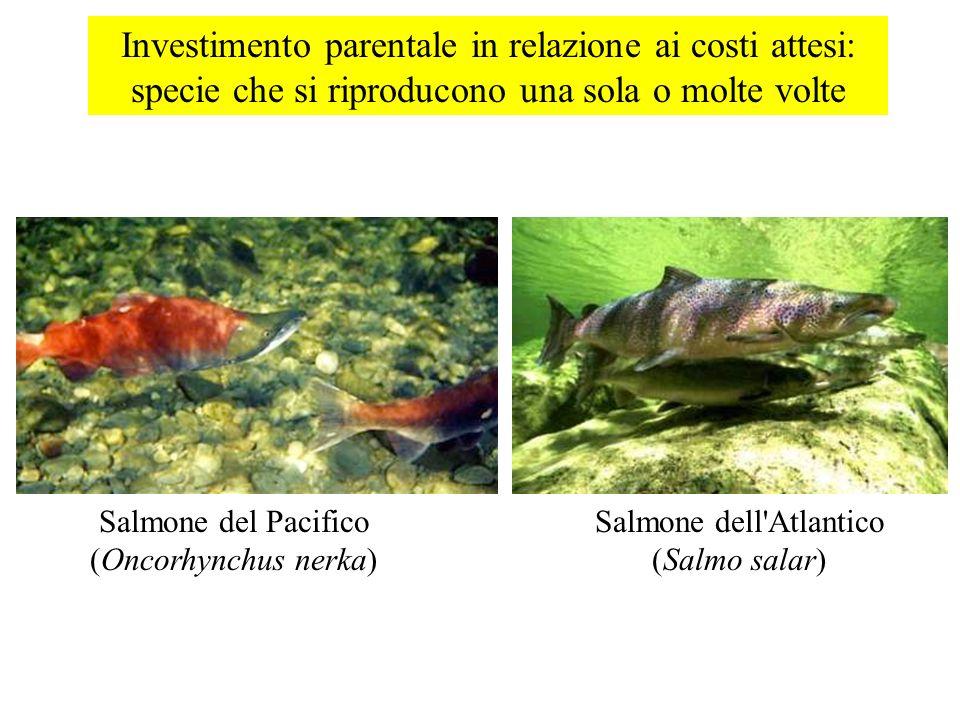 Investimento parentale in relazione ai costi attesi: specie che si riproducono una sola o molte volte Salmone del Pacifico (Oncorhynchus nerka) Salmon