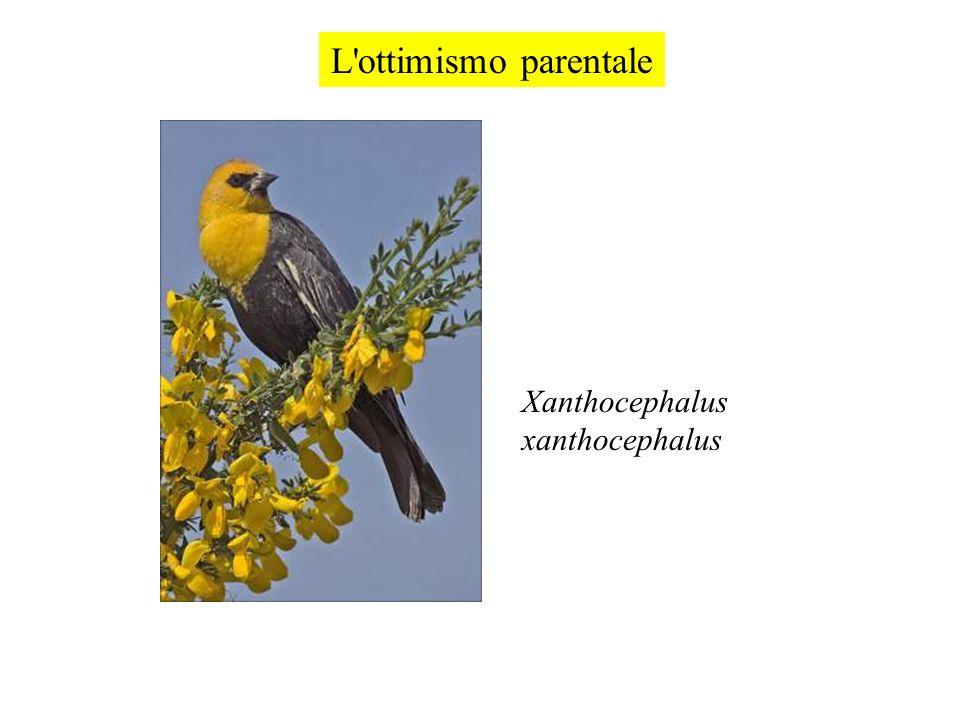 L'ottimismo parentale Xanthocephalus xanthocephalus