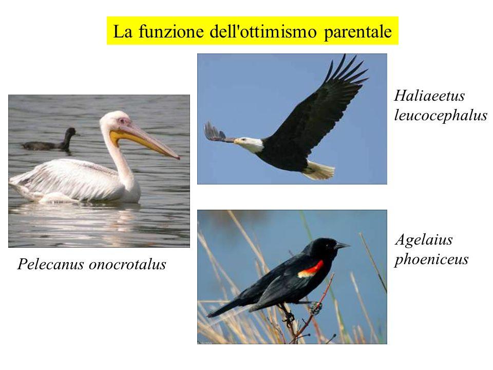 La funzione dell'ottimismo parentale Pelecanus onocrotalus Haliaeetus leucocephalus Agelaius phoeniceus