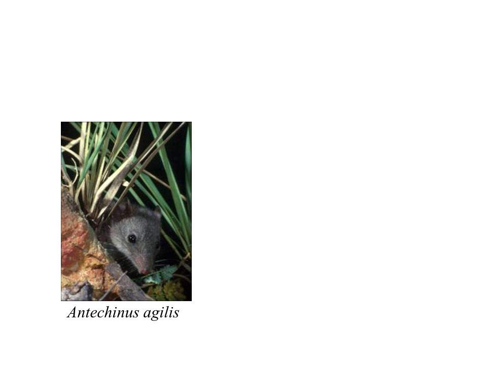 Antechinus agilis