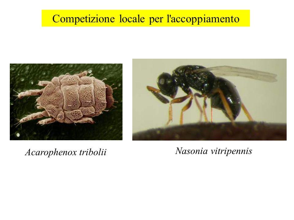 Competizione locale per l'accoppiamento Acarophenox tribolii Nasonia vitripennis