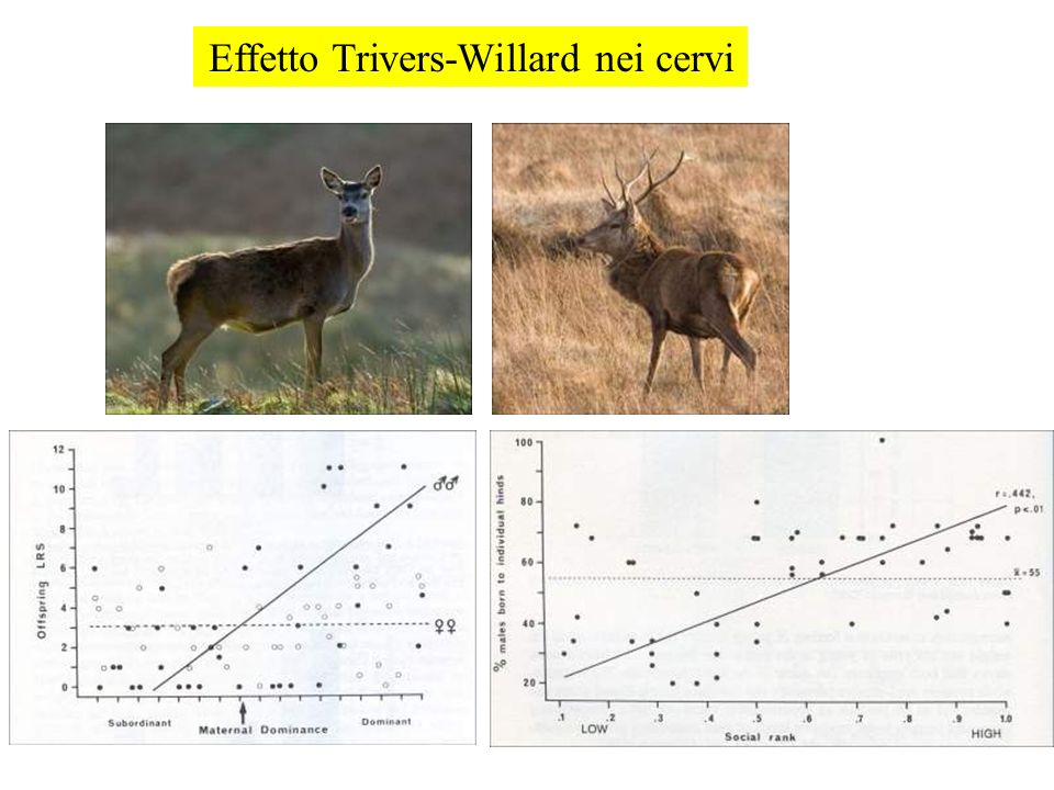 Effetto Trivers-Willard nei cervi