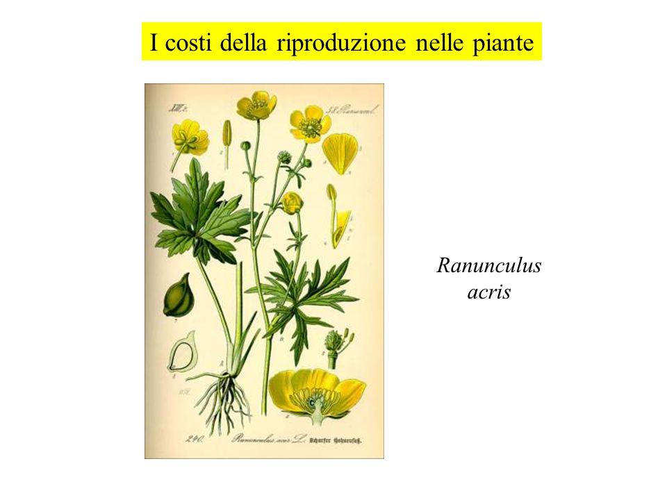 Ranunculus acris I costi della riproduzione nelle piante