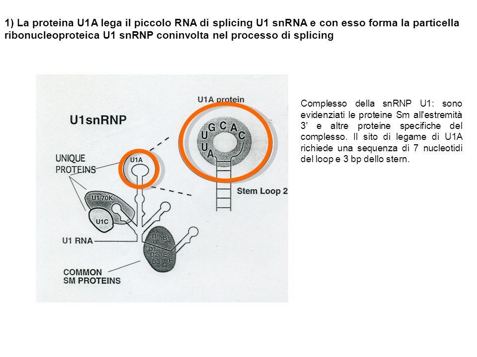1) La proteina U1A lega il piccolo RNA di splicing U1 snRNA e con esso forma la particella ribonucleoproteica U1 snRNP coninvolta nel processo di splicing Complesso della snRNP U1: sono evidenziati le proteine Sm all estremità 3 e altre proteine specifiche del complesso.