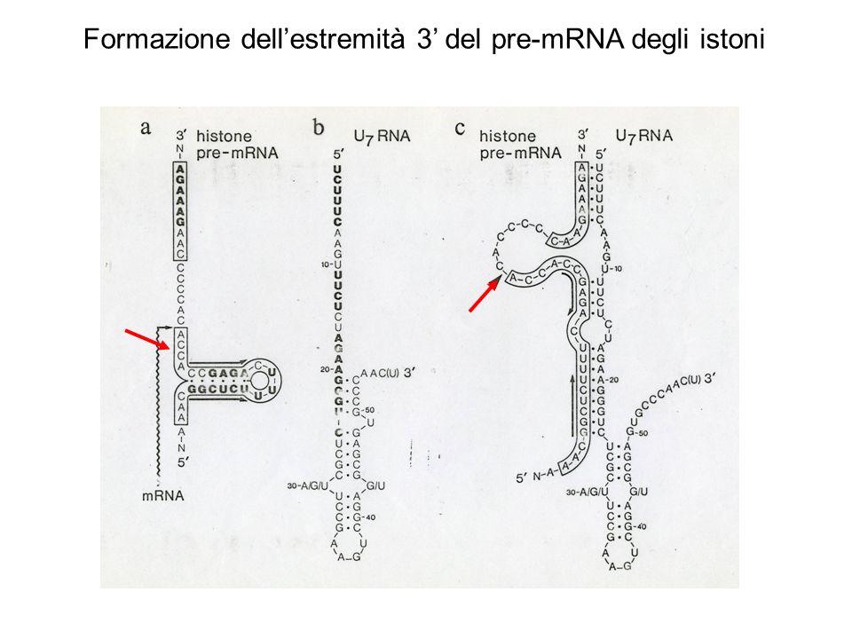 Formazione dellestremità 3 del pre-mRNA degli istoni
