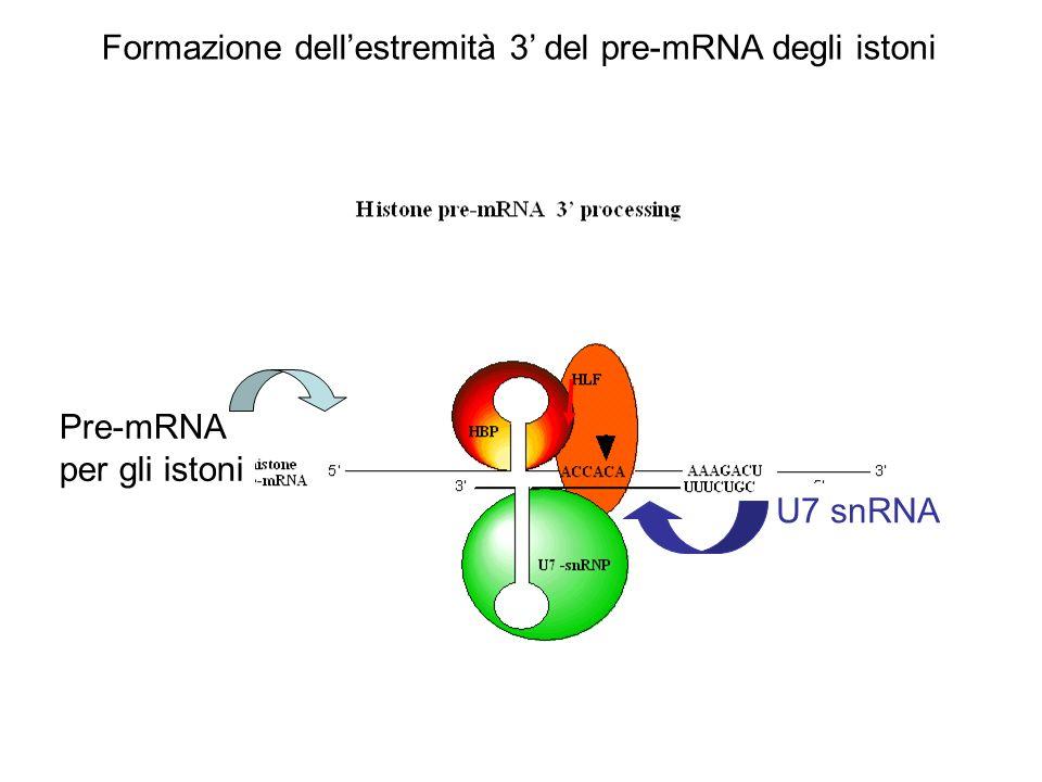 U7 snRNA Pre-mRNA per gli istoni Formazione dellestremità 3 del pre-mRNA degli istoni