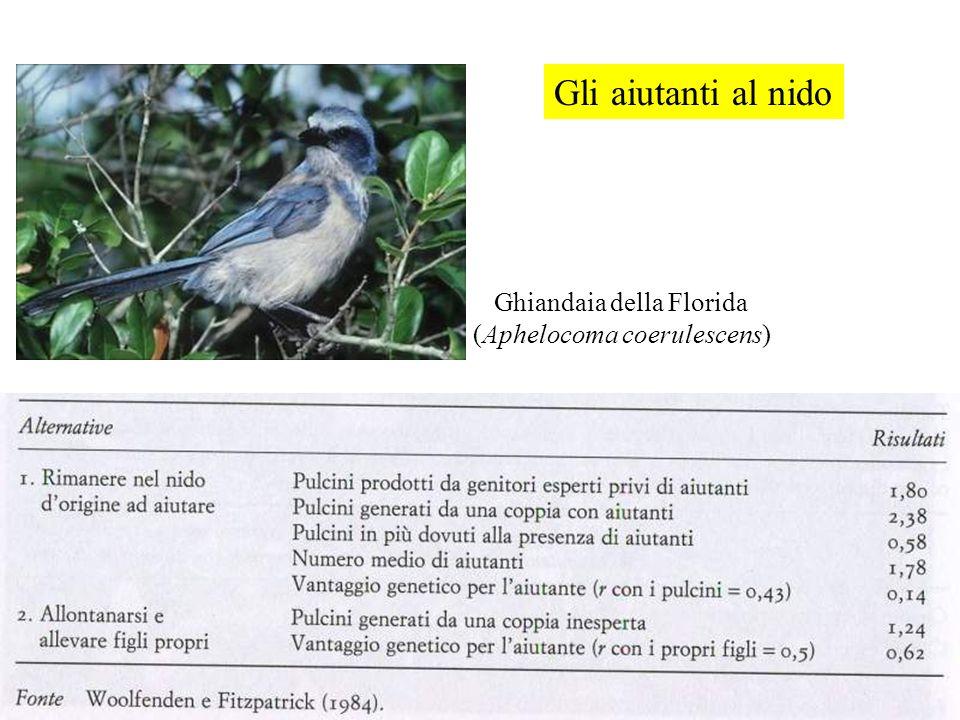 Ghiandaia della Florida (Aphelocoma coerulescens) Gli aiutanti al nido