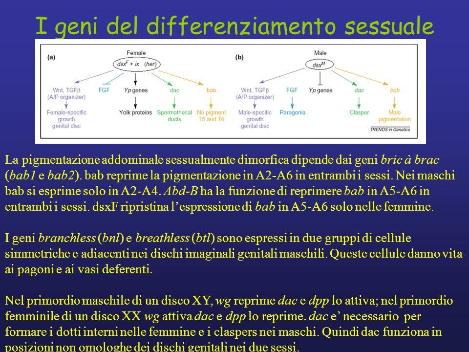 I geni del differenziamento sessuale La pigmentazione addominale sessualmente dimorfica dipende dai geni bric à brac (bab1 e bab2). bab reprime la pig