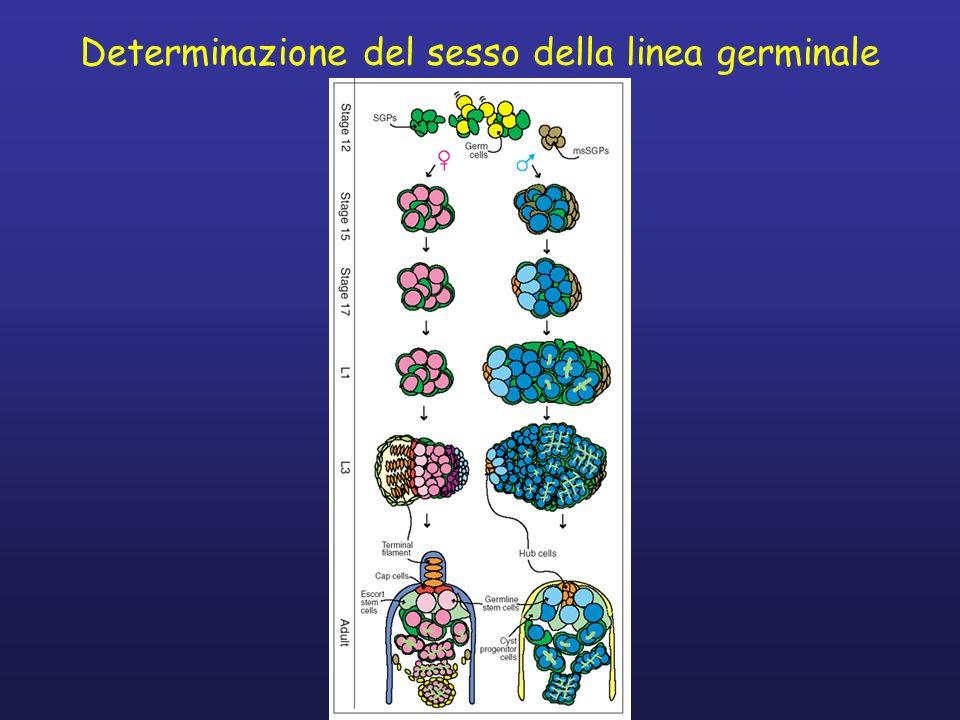 La determinazione del comportamento sessuale Il corteggiamento maschile in Drosophila e un comportamento innato specie- specifico.