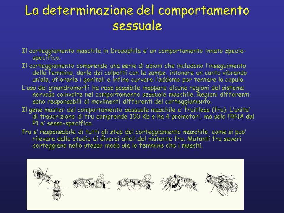 La determinazione del comportamento sessuale Il corteggiamento maschile in Drosophila e un comportamento innato specie- specifico. Il corteggiamento c