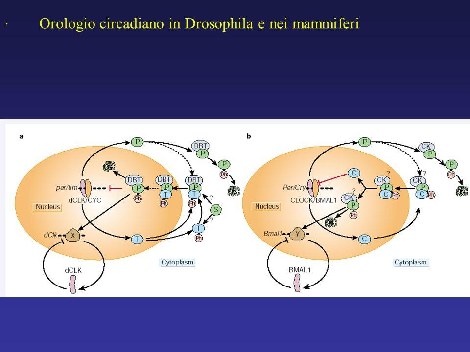 . Orologio circadiano in Drosophila e nei mammiferi