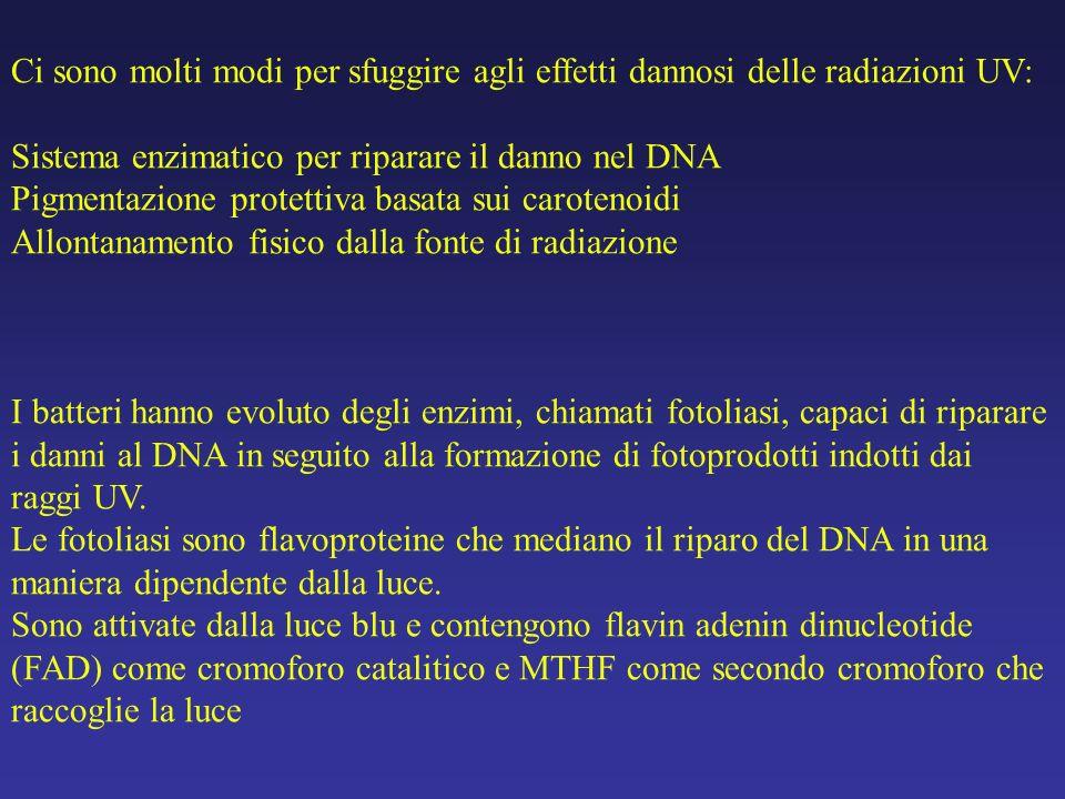 Ci sono molti modi per sfuggire agli effetti dannosi delle radiazioni UV: Sistema enzimatico per riparare il danno nel DNA Pigmentazione protettiva ba