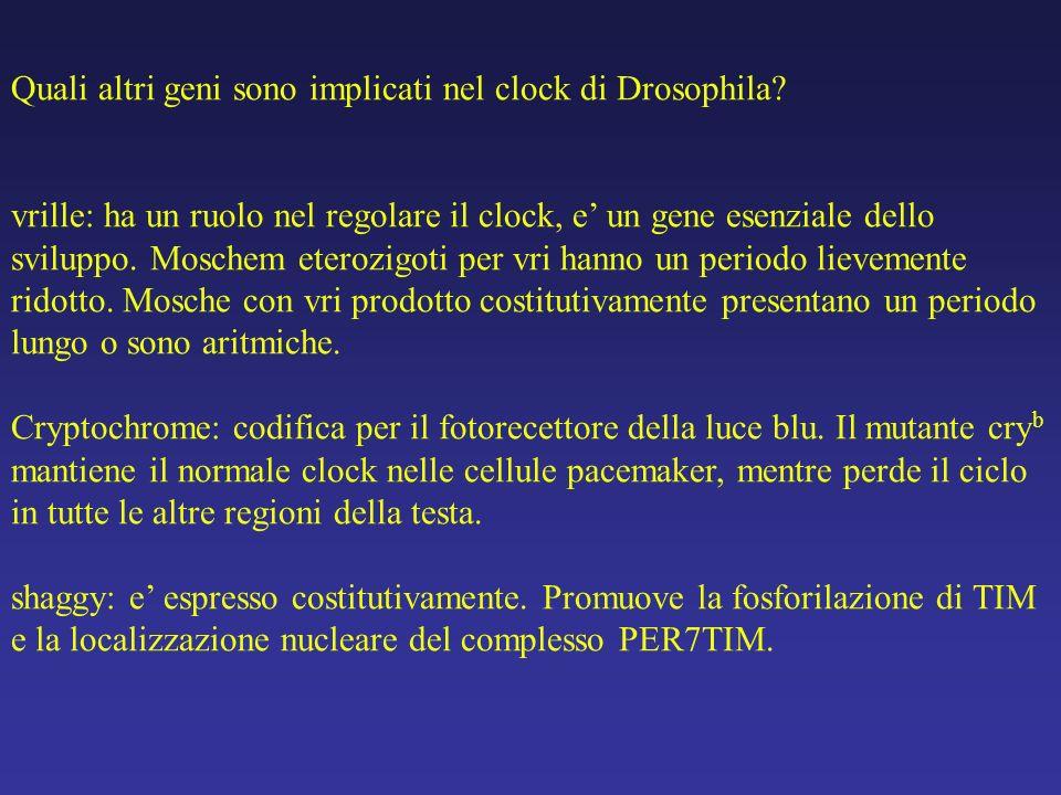 Quali altri geni sono implicati nel clock di Drosophila? vrille: ha un ruolo nel regolare il clock, e un gene esenziale dello sviluppo. Moschem eteroz