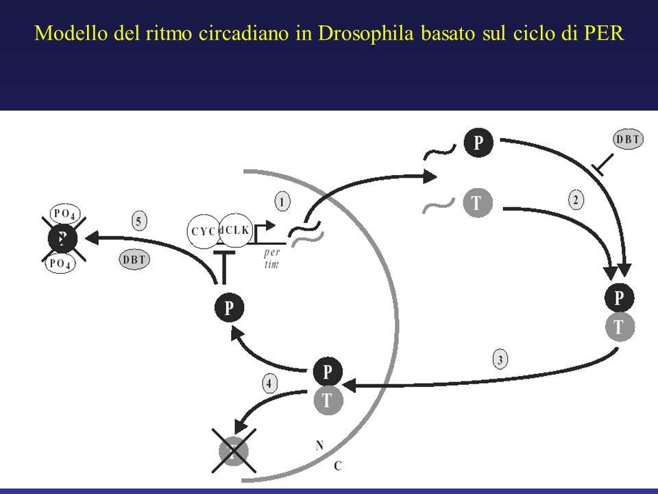 Modello del ritmo circadiano in Drosophila basato sul ciclo di PER