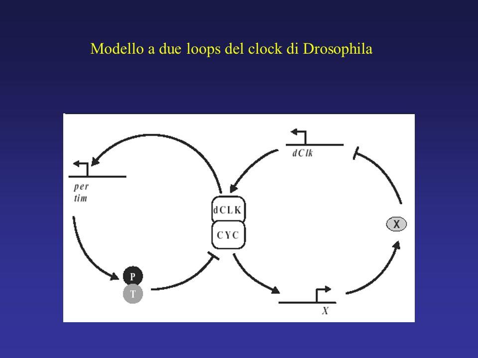 Modello a due loops del clock di Drosophila
