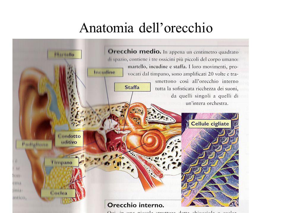 Anatomia dellorecchio