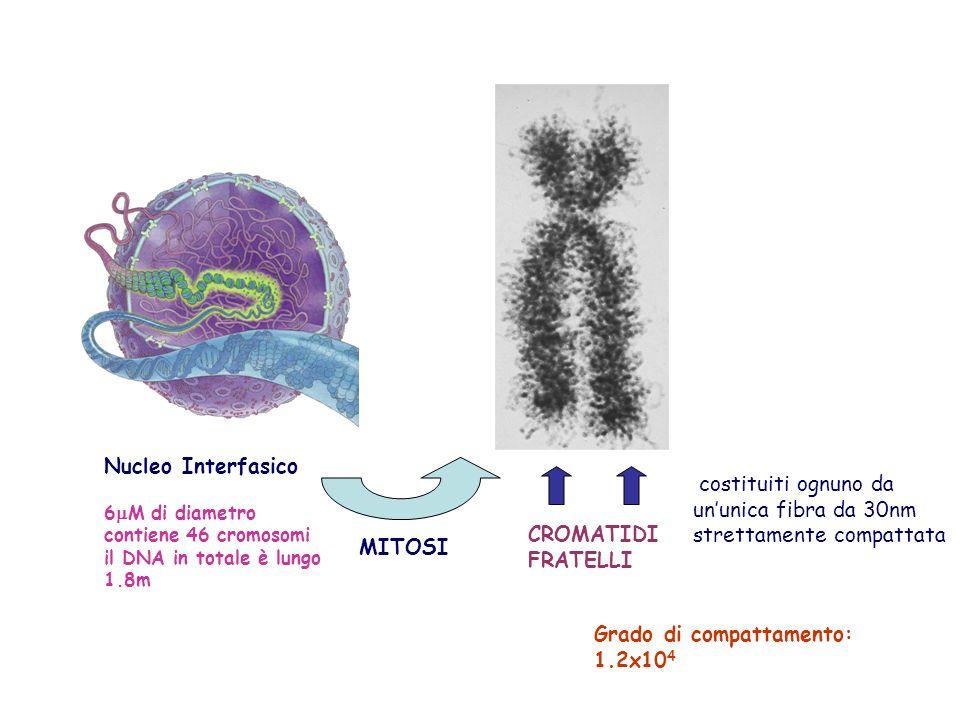 costituiti ognuno da ununica fibra da 30nm strettamente compattata MITOSI Nucleo Interfasico 6 M di diametro contiene 46 cromosomi il DNA in totale è