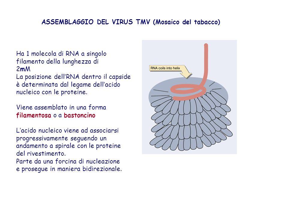 ASSEMBLAGGIO DEL VIRUS TMV (Mosaico del tabacco) Ha 1 molecola di RNA a singolo filamento della lunghezza di 2mM La posizione dellRNA dentro il capsid