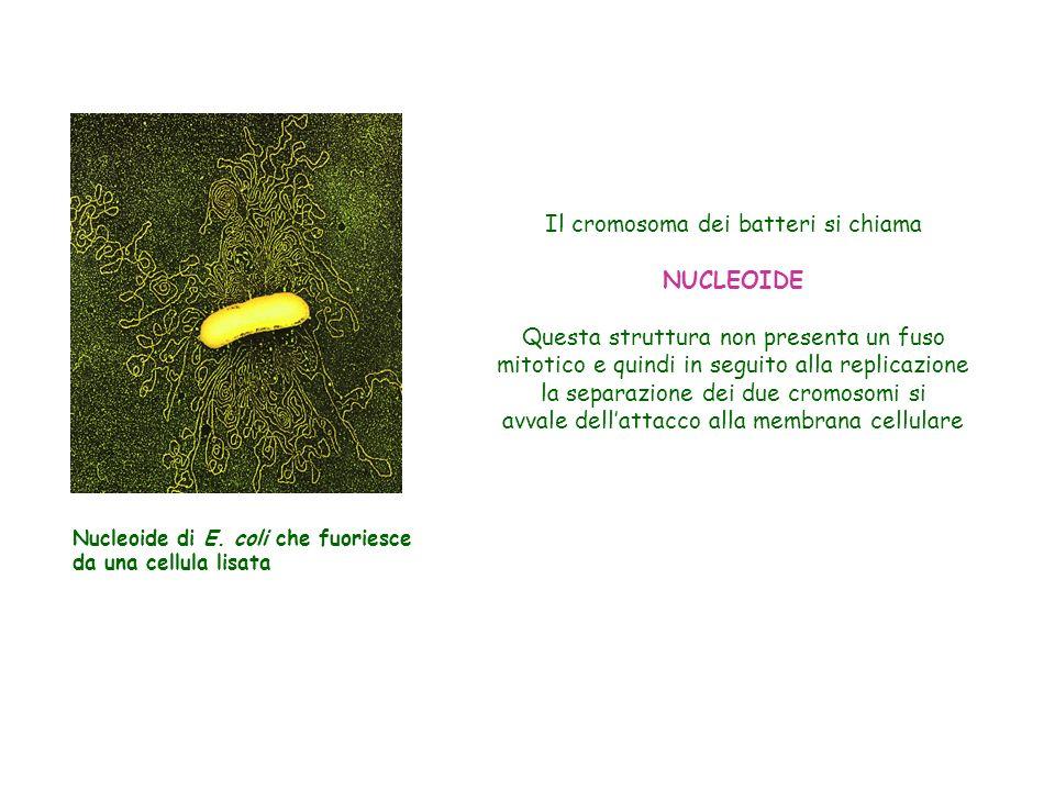 Il cromosoma dei batteri si chiama NUCLEOIDE Questa struttura non presenta un fuso mitotico e quindi in seguito alla replicazione la separazione dei d