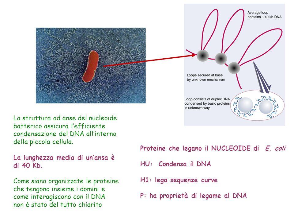 La struttura ad anse del nucleoide batterico assicura lefficiente condensazione del DNA allinterno della piccola cellula. La lunghezza media di unansa