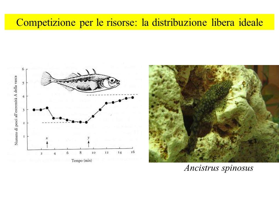 Competizione per le risorse: la distribuzione libera ideale Ancistrus spinosus