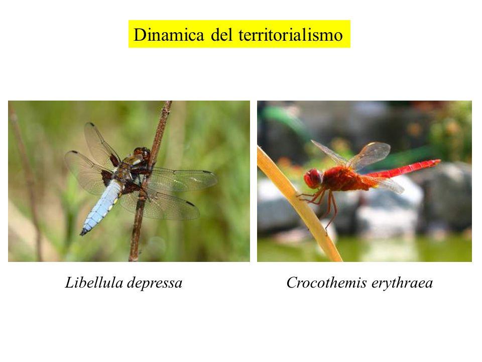 Dinamica del territorialismo Libellula depressaCrocothemis erythraea