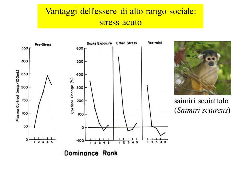 Vantaggi dell'essere di alto rango sociale: stress acuto saimiri scoiattolo (Saimiri sciureus)