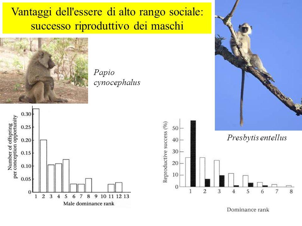 Vantaggi dell'essere di alto rango sociale: successo riproduttivo dei maschi Papio cynocephalus Presbytis entellus