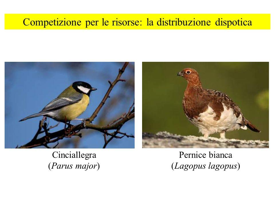 Competizione per le risorse: la distribuzione dispotica Cinciallegra (Parus major) Pernice bianca (Lagopus lagopus)