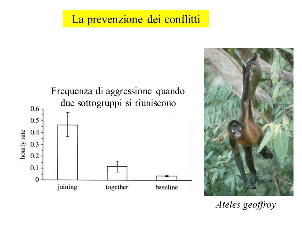 La prevenzione dei conflitti Frequenza di aggressione quando due sottogruppi si riuniscono Ateles geoffroy
