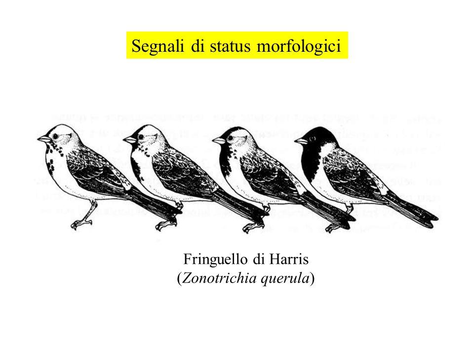 Segnali di status morfologici Fringuello di Harris (Zonotrichia querula)