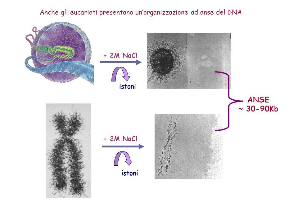 + 2M NaCl istoni ANSE ~ 30-90Kb Anche gli eucarioti presentano unorganizzazione ad anse del DNA