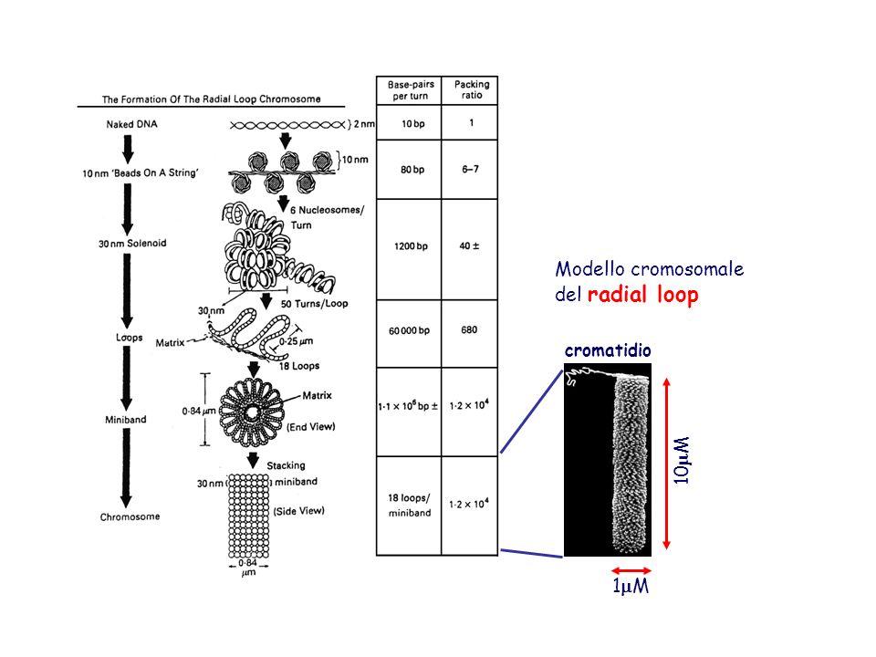 … e grado di compattamento 1 M 10 M Modello cromosomale del radial loop cromatidio