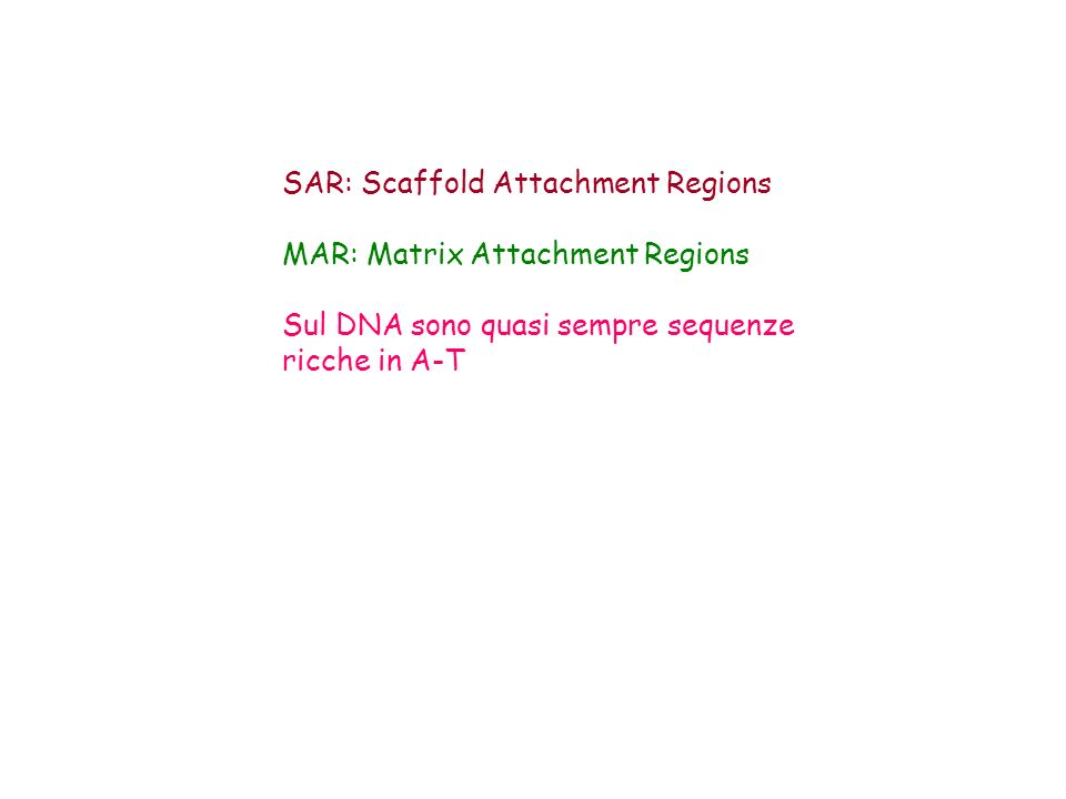 SAR: Scaffold Attachment Regions MAR: Matrix Attachment Regions Sul DNA sono quasi sempre sequenze ricche in A-T