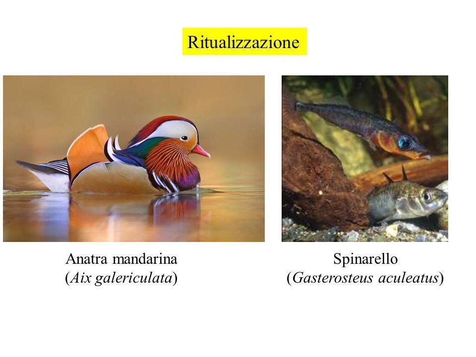 Ritualizzazione Anatra mandarina (Aix galericulata) Spinarello (Gasterosteus aculeatus)